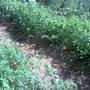 Как правильно ухаживать за подросшими томатами?