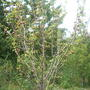 Как помочь груше? Листьев почти нет, плодов много. Может груше чего-то не хватает?