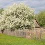Белое облако цветения