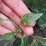 Не удается вырастить болгарский перец, помогите