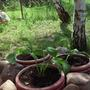 Посадила хосту, но она не растет. В чем причина? Что я делаю не так?