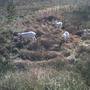 Заблудились козы в дальнем болоте
