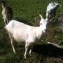 Паразитарные болезни коз. А еще про козу Пучку и ее счастливую жизнь