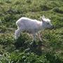 Принцесса, молоко и инстинкты коз с козлятами