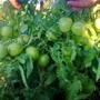 Томат Бонсай. Очень урожайный сорт!!! Ультраскороспелый, не требует подвязки и пасынкования. Можно выращивать на балконе, на подоконнике. Плоды крепкие, вкусные, не крупные. Начало плодоношения — конец июня.