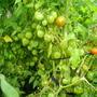 Томат Бонсай. Очень урожайный сорт!!! Я выращивала в парничке, под временным плёночным укрытием. Плодоносит до заморозков.