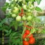 Помидоры Гибрид Снеговик F1 (и Снегопад F1). ОЧЕНЬ урожайные сорта. Помидорки крепкие. Куст высотой 1-1,2 метра. Обильно и долго плодоносит.