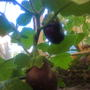 Баклажан Медальон F1. Куст невысокий, 0,5 м. Урожайный. Подходит для выращивания на балконе и подоконнике, но я его высадила в парник. Плоды удлинённой, яйцевидной формы, фиолетового цвета. Про вкус не могу конкретно ничего сказать, т.к. вырастила его рядом с горьким перцем, поэтому плоды были горькие.