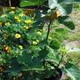 Как выращивать инжир в Московской области? Какие условия зимовки и как его подготовить?