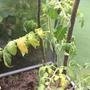 Подскажите, пожалуйста, что с огурцами и помидорами? Можно ли как-то спасти урожай?