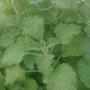 Помогите определить пряное растение
