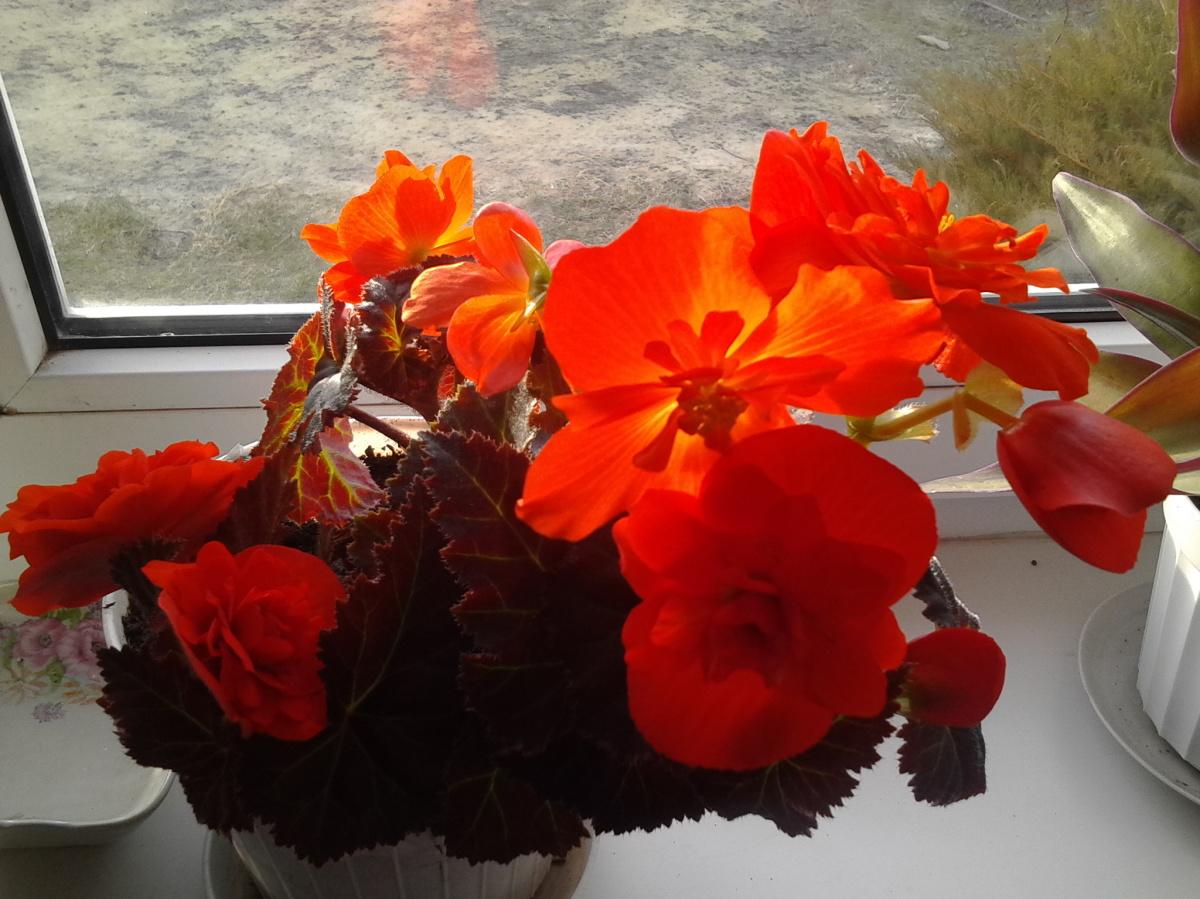 Цветы бегонии и уход за цветами