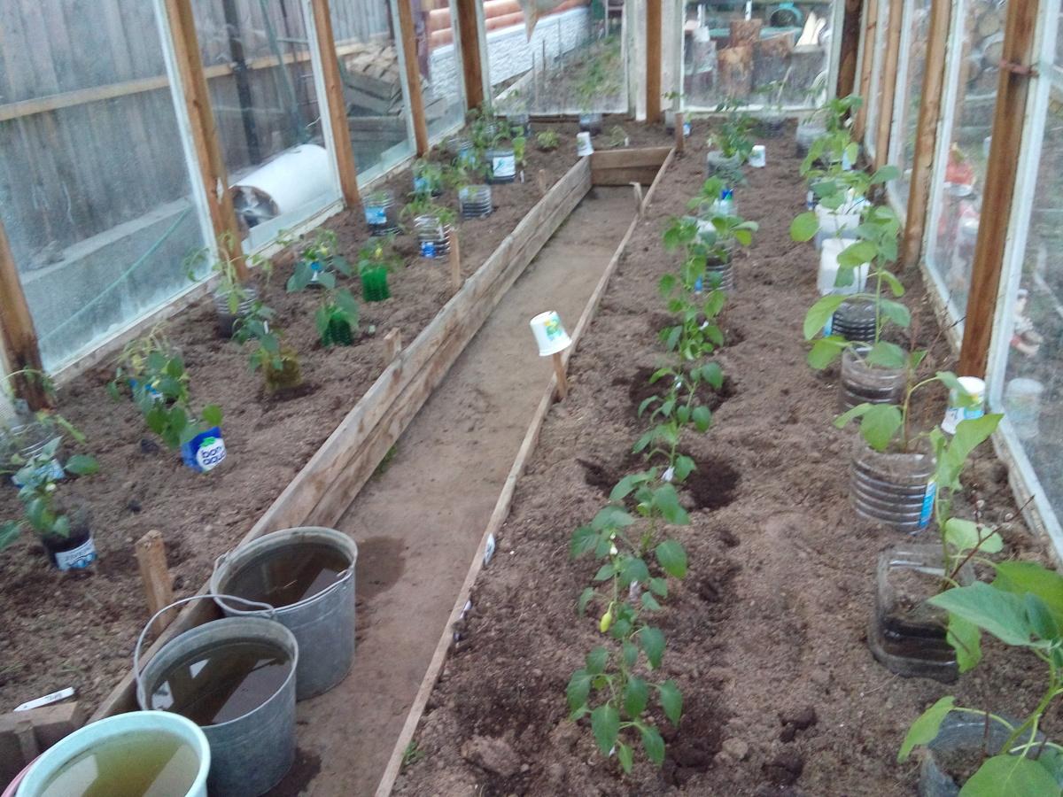 Выращивание томатов в теплице : посадка и уход 49