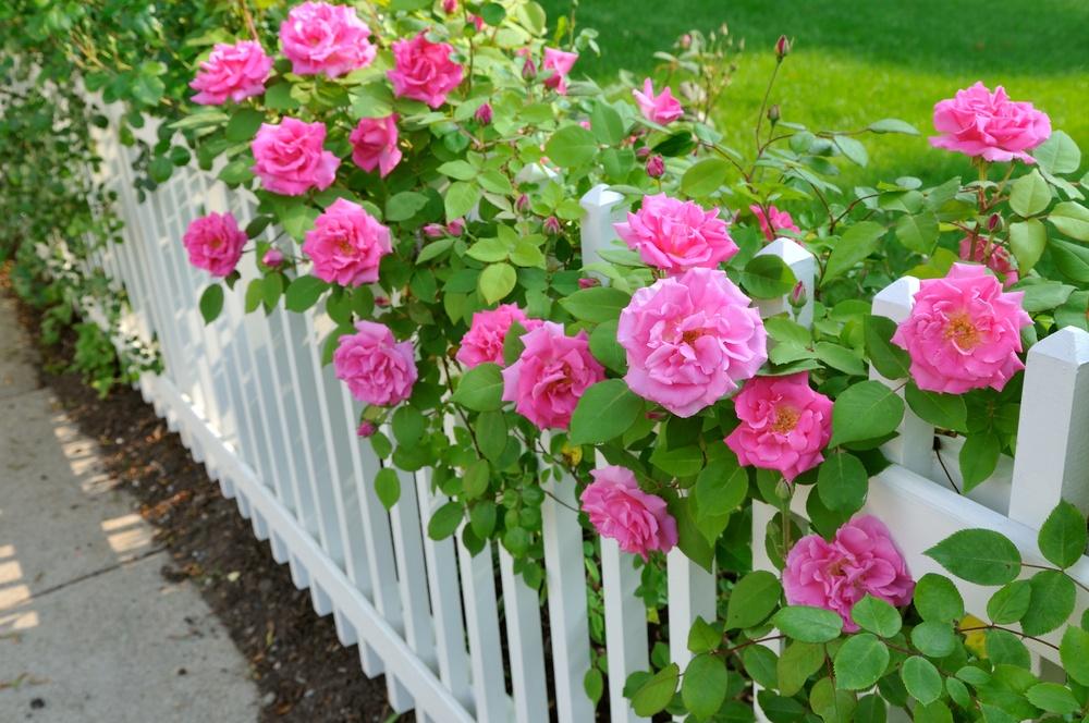 Кустовая роза уход в саду