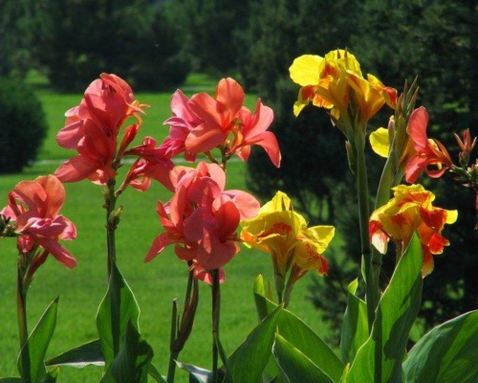 Кана цветок
