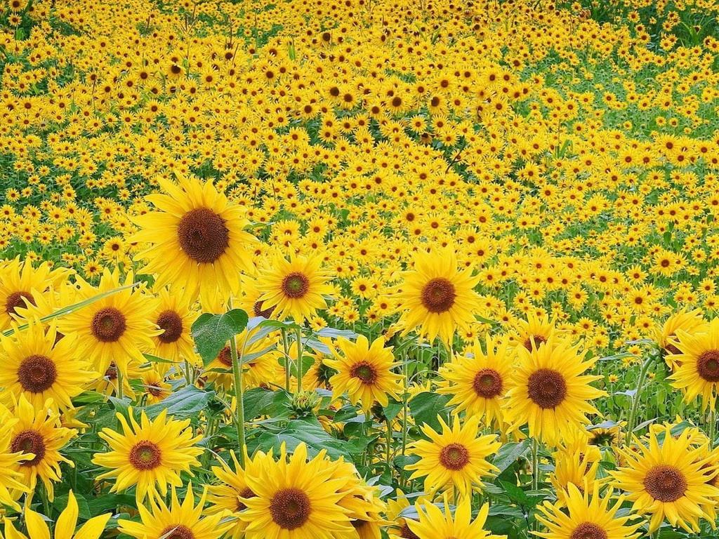 подсолнечник цветы