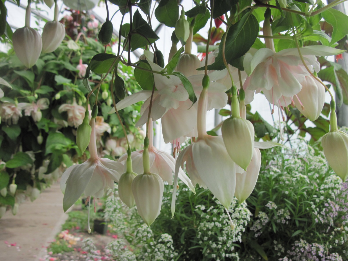фуксия садовая