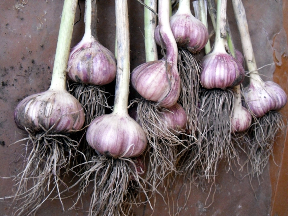 Яровой чеснок: когда сажать и как выращивать. Чеснок 65
