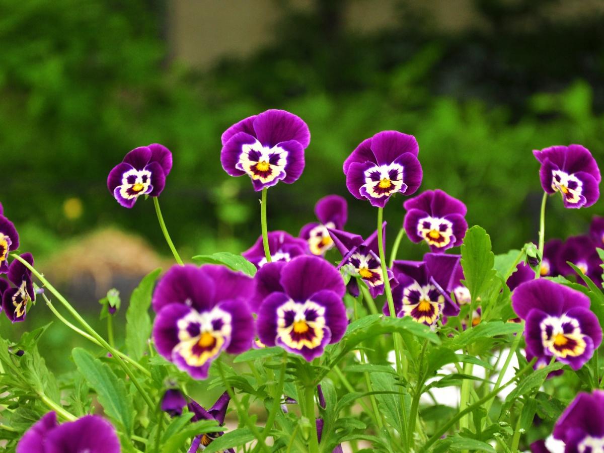 Цветы похожие на фиалки