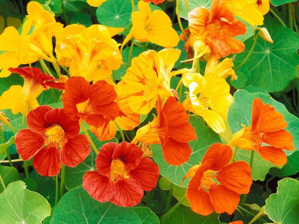 кустовые садовые цветы