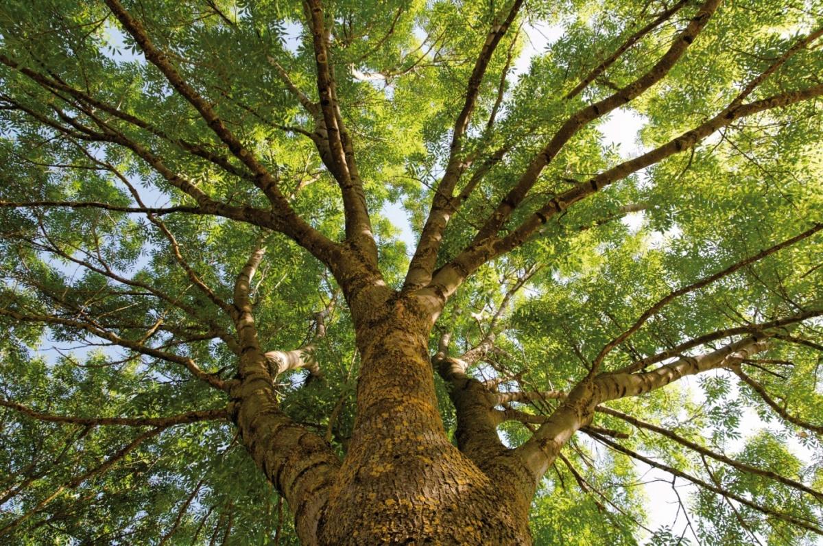 как выглядит дерево ясень