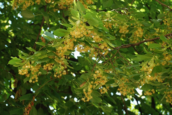 Картинки по запросу дерево Липа