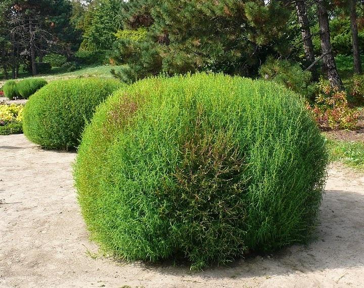 кохия выращивание и уход