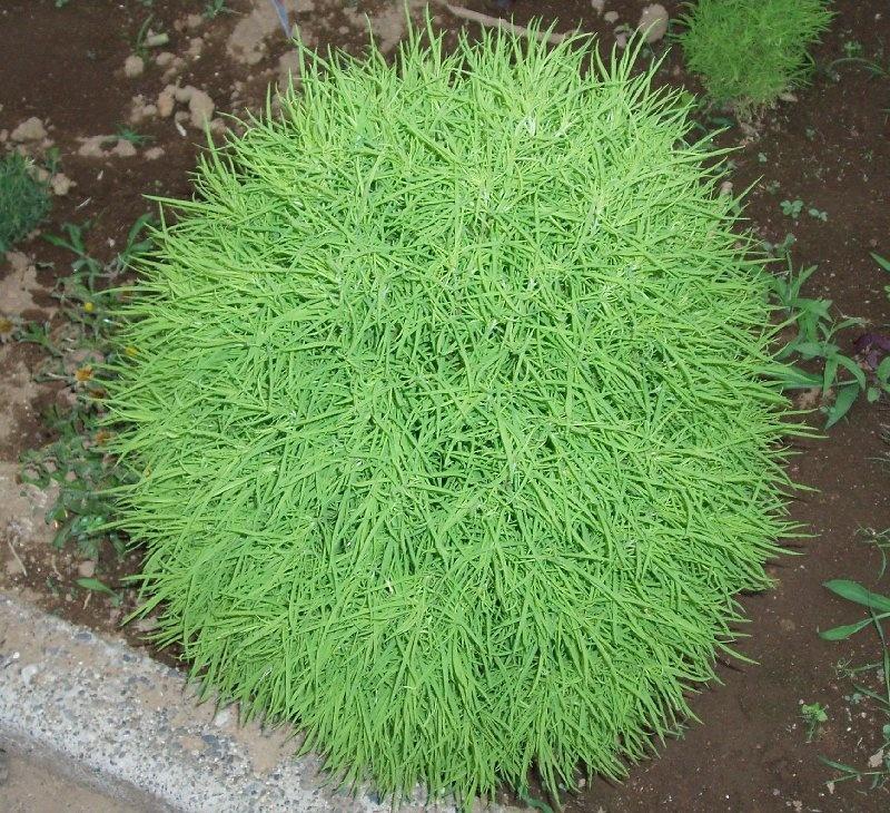 растение кохия