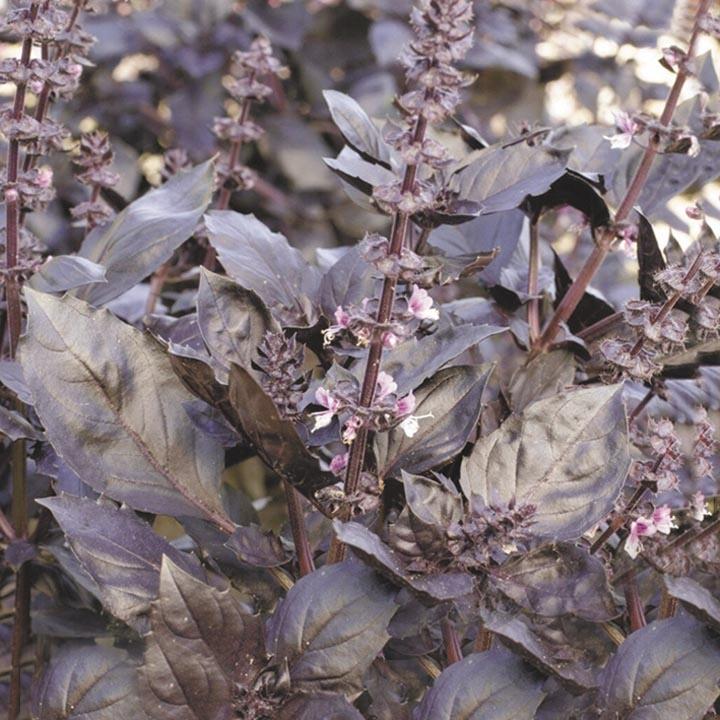 Уход за цветами базилик
