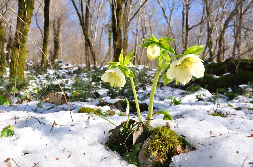 растение морозник