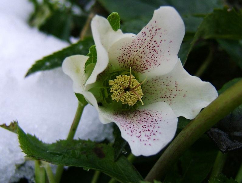 морозник рождественская роза