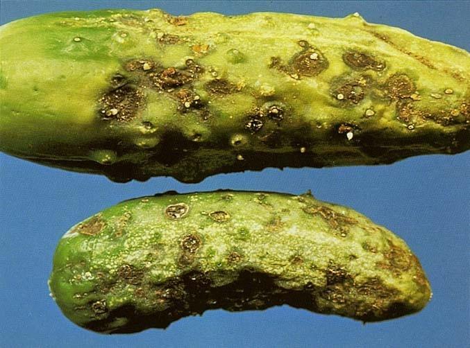 болезни огурцов