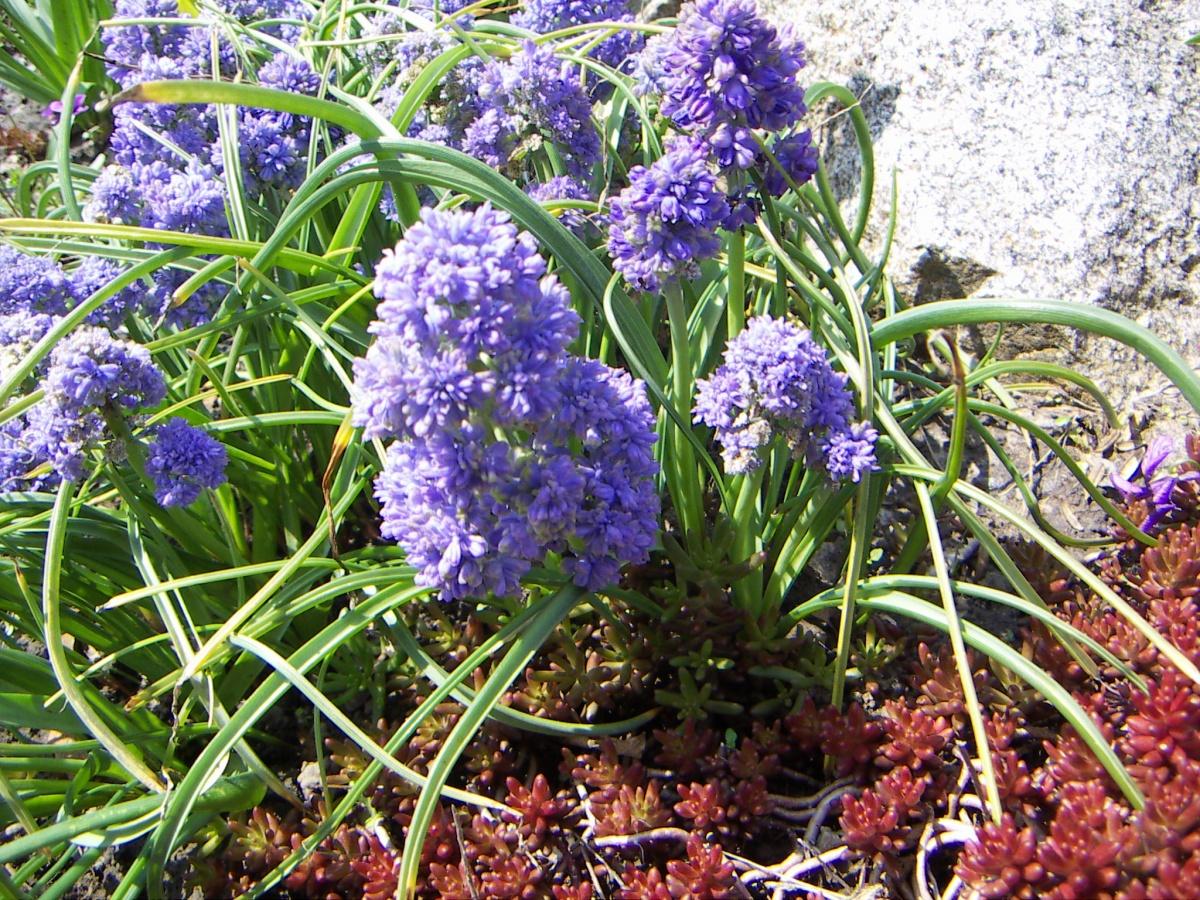 Цветы колокольчик махровый 33