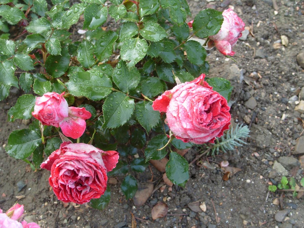 Комнатная роза Миниатюрные розы Уход  Flowertimesru