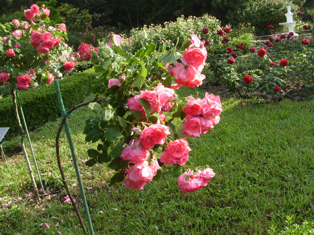 Роза после цветения 6