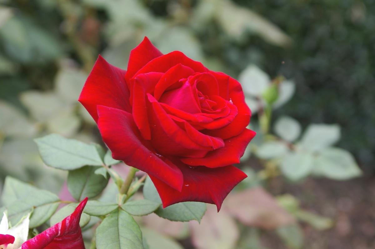 Розы флорибунда дизайн