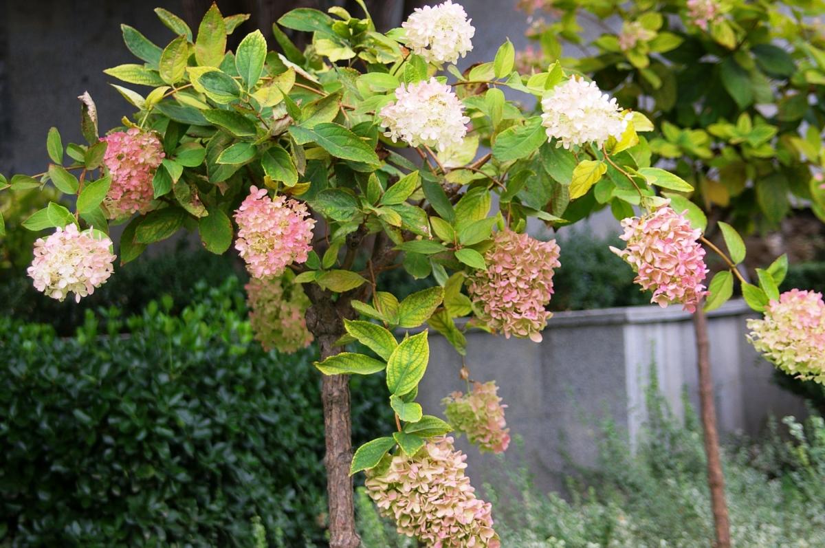 Ногоплодник  Podocarpus  Зона Вазона