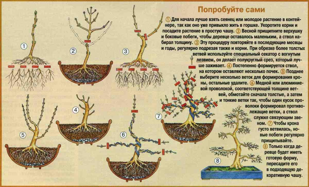Как посадить бонсай не из семян в домашних условиях 69