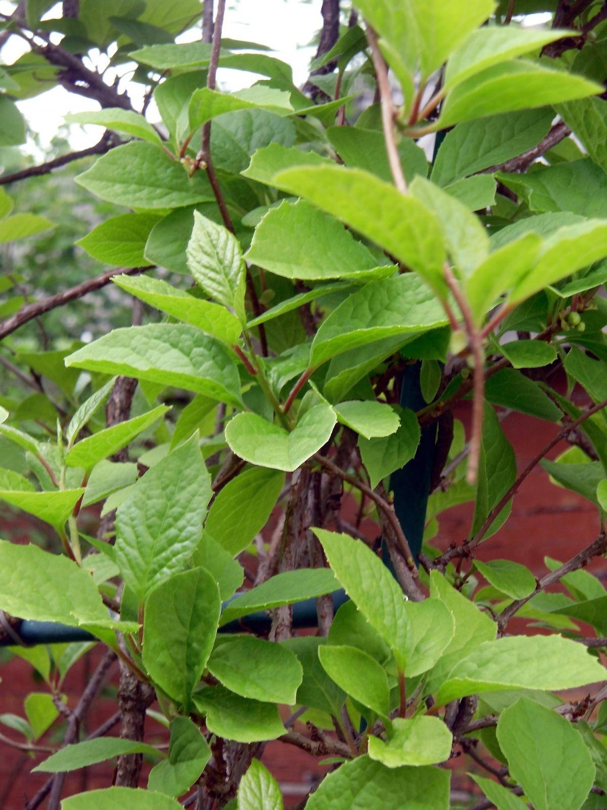 лимонник китайский  выращивание