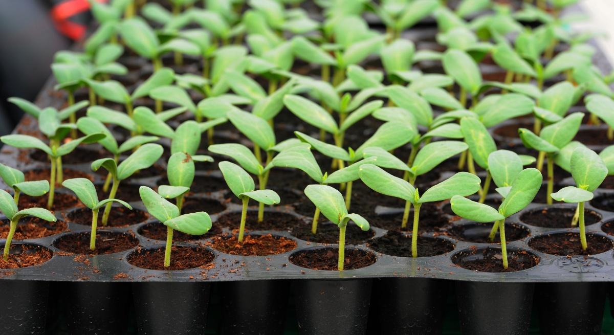 флоксы выращивание из семян