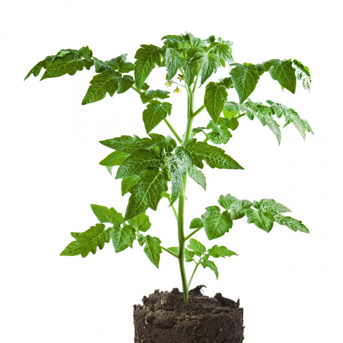 Рассада цветов: правила выращивания 76