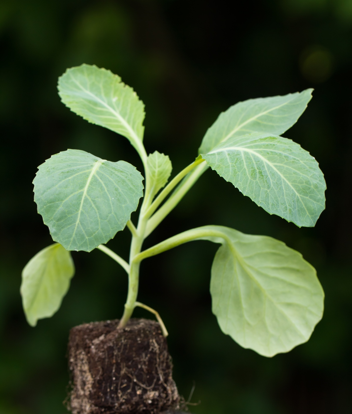 престиж инструкция обработки семян капусты