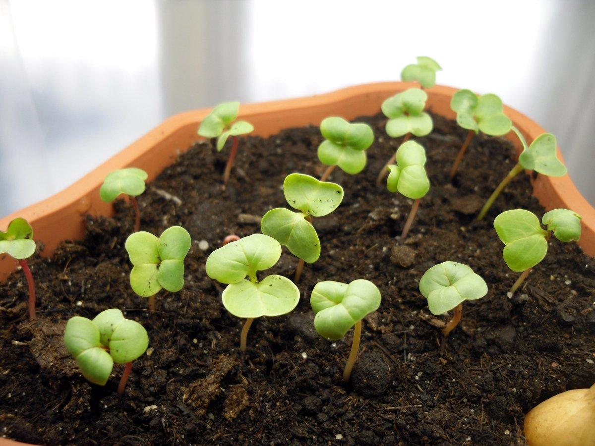 как растет редис
