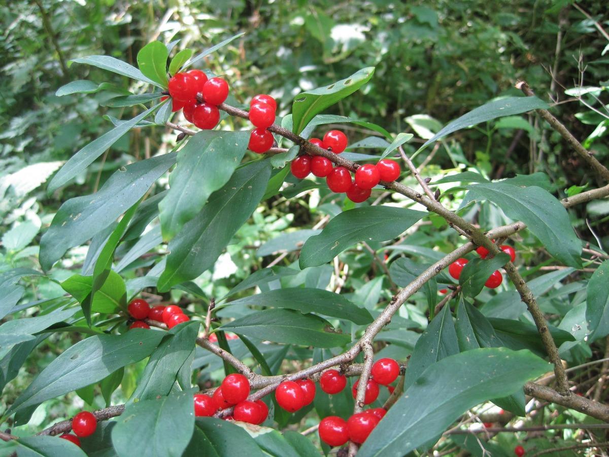 Ядовитые растения  и описание