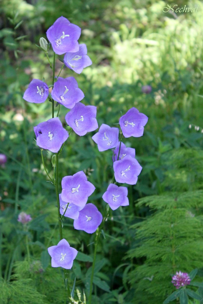Цветы колокольчик махровый 3