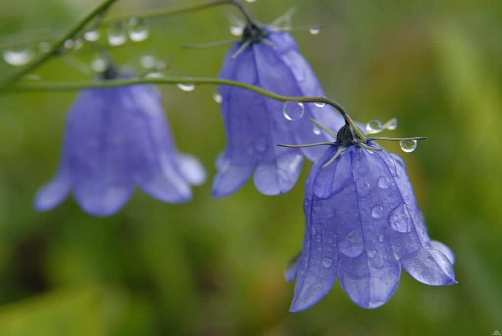 Цветок колокольчик синий фото