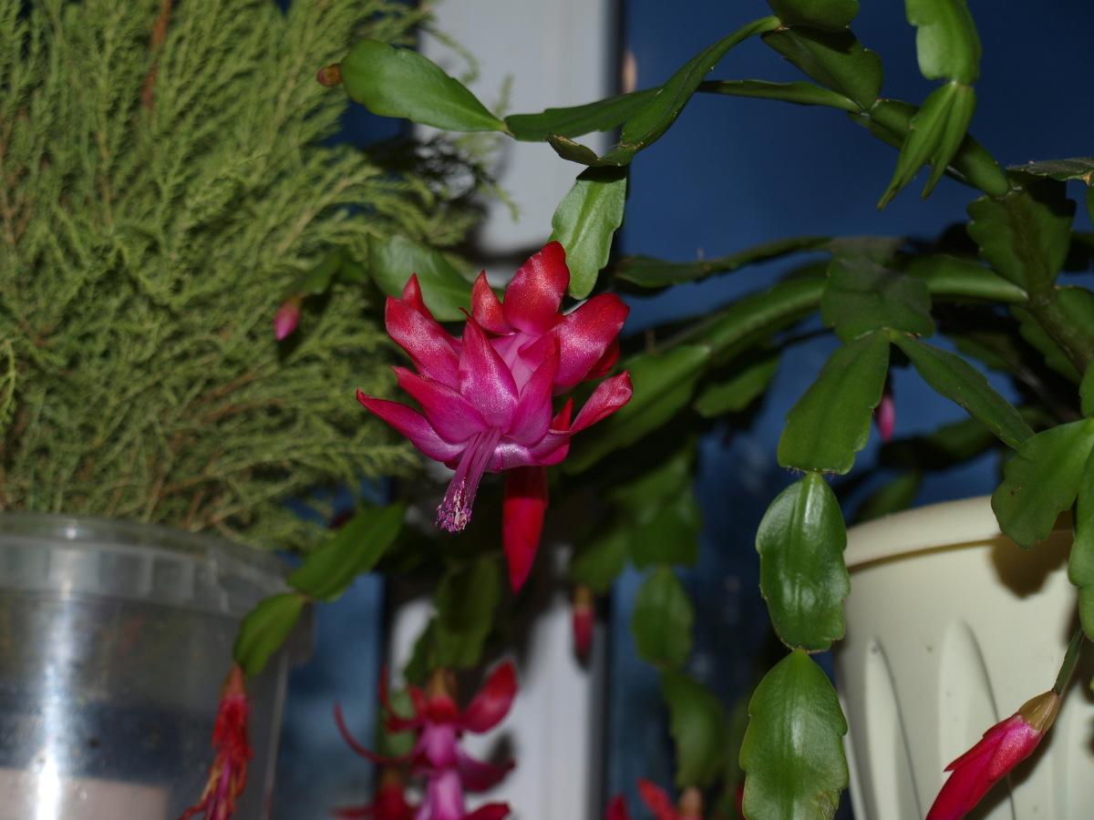 рождественский кактус