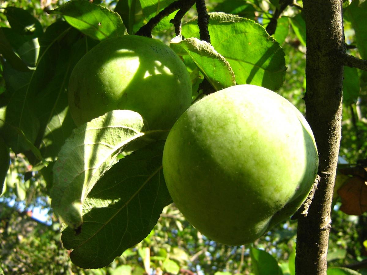 Яблоки семеренко для беременных