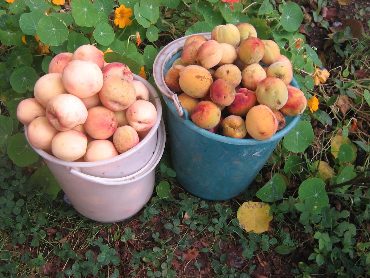 Как вырастить персик в средней полосе России?
