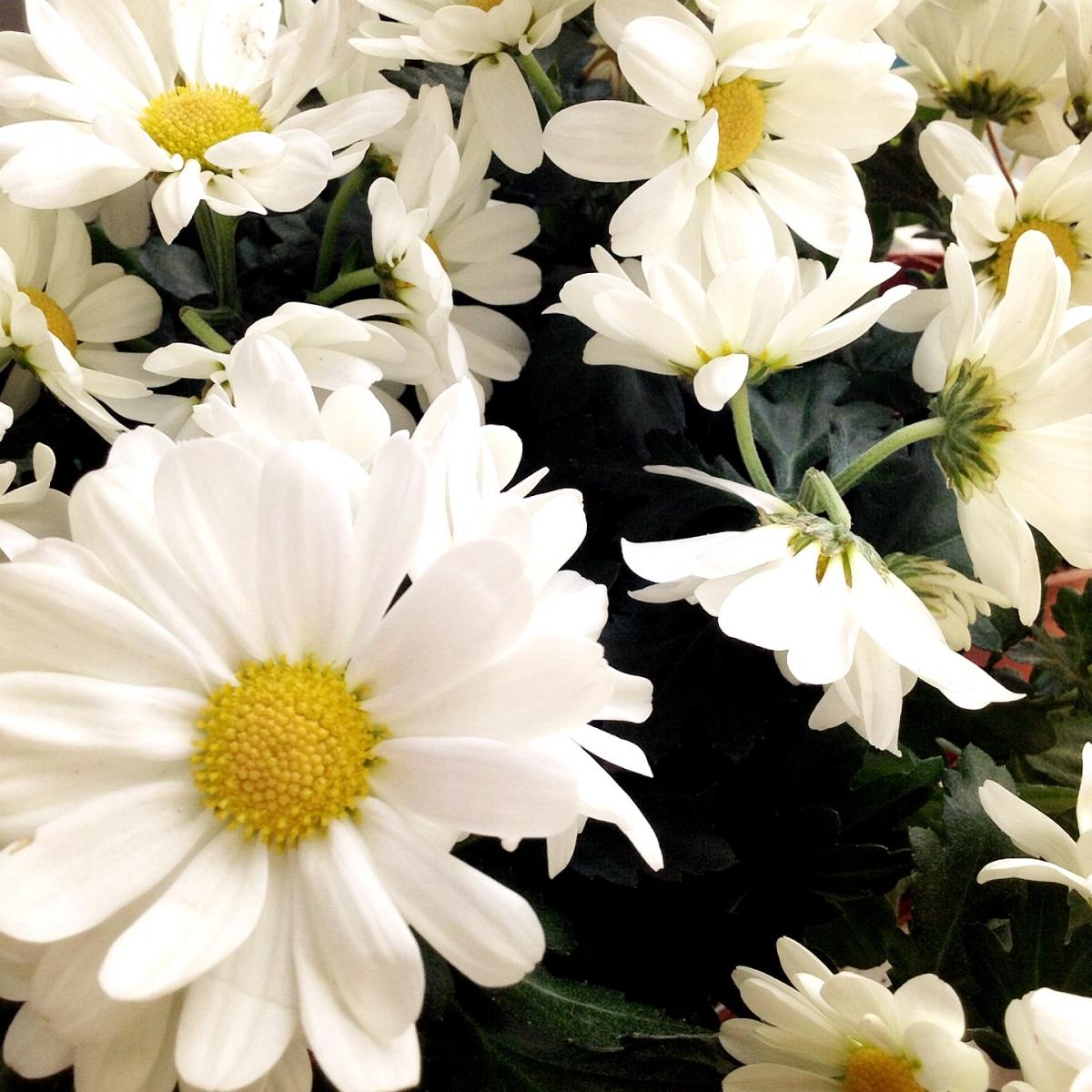 Цветущие комнатные растения фото и названия Комнатные цветы 80